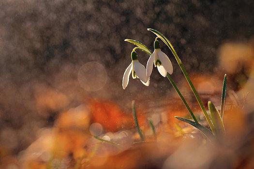 snowdrops-in-blossom-marek-mierzejewski